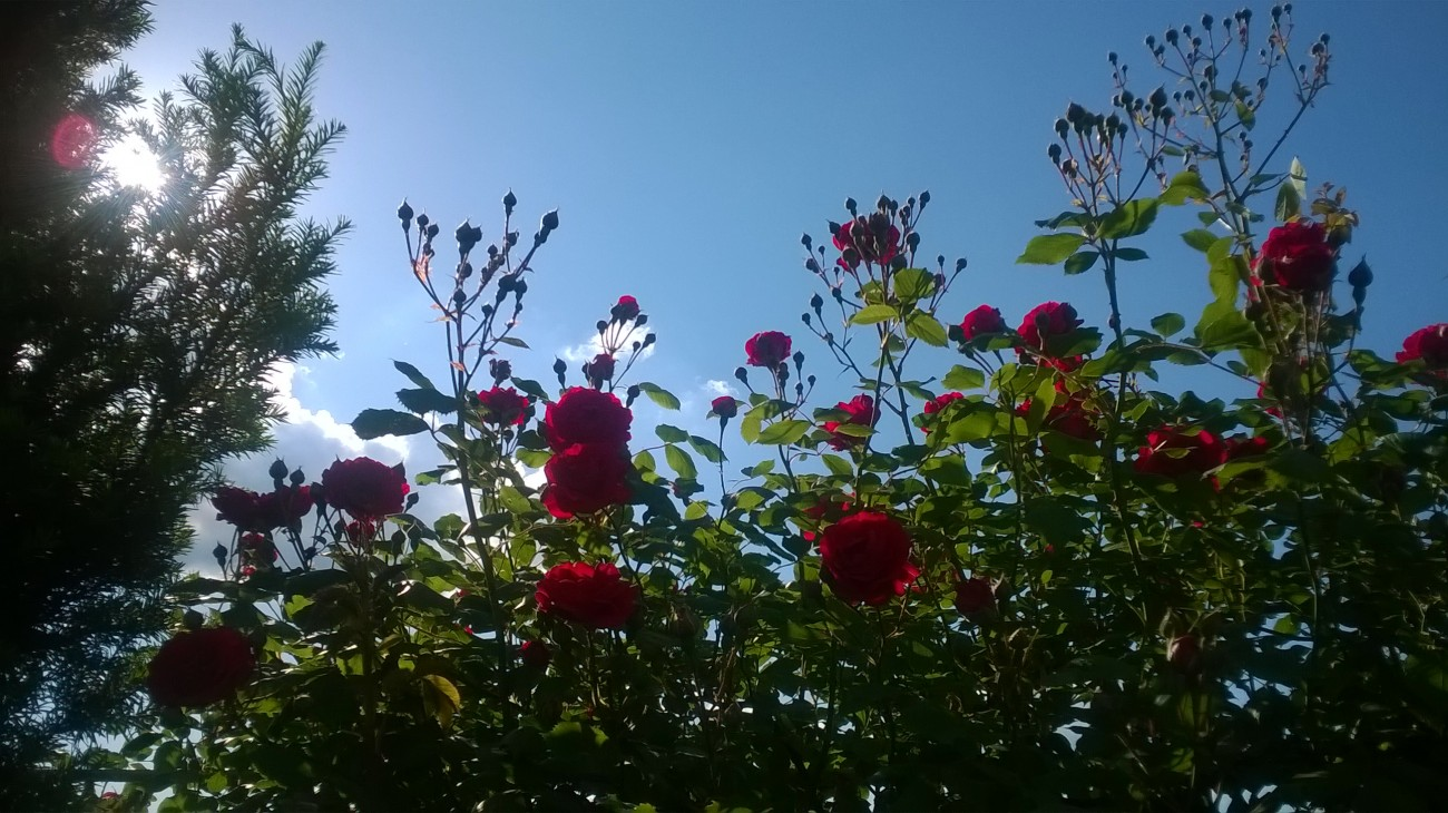 Czerwiec 2014 myl wic jestem hello all today i present a couple of the most beautiful pictures of my beautiful climbing rose i planted it four years ago from the north to the fence izmirmasajfo